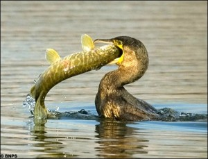 Cormorant eating pike